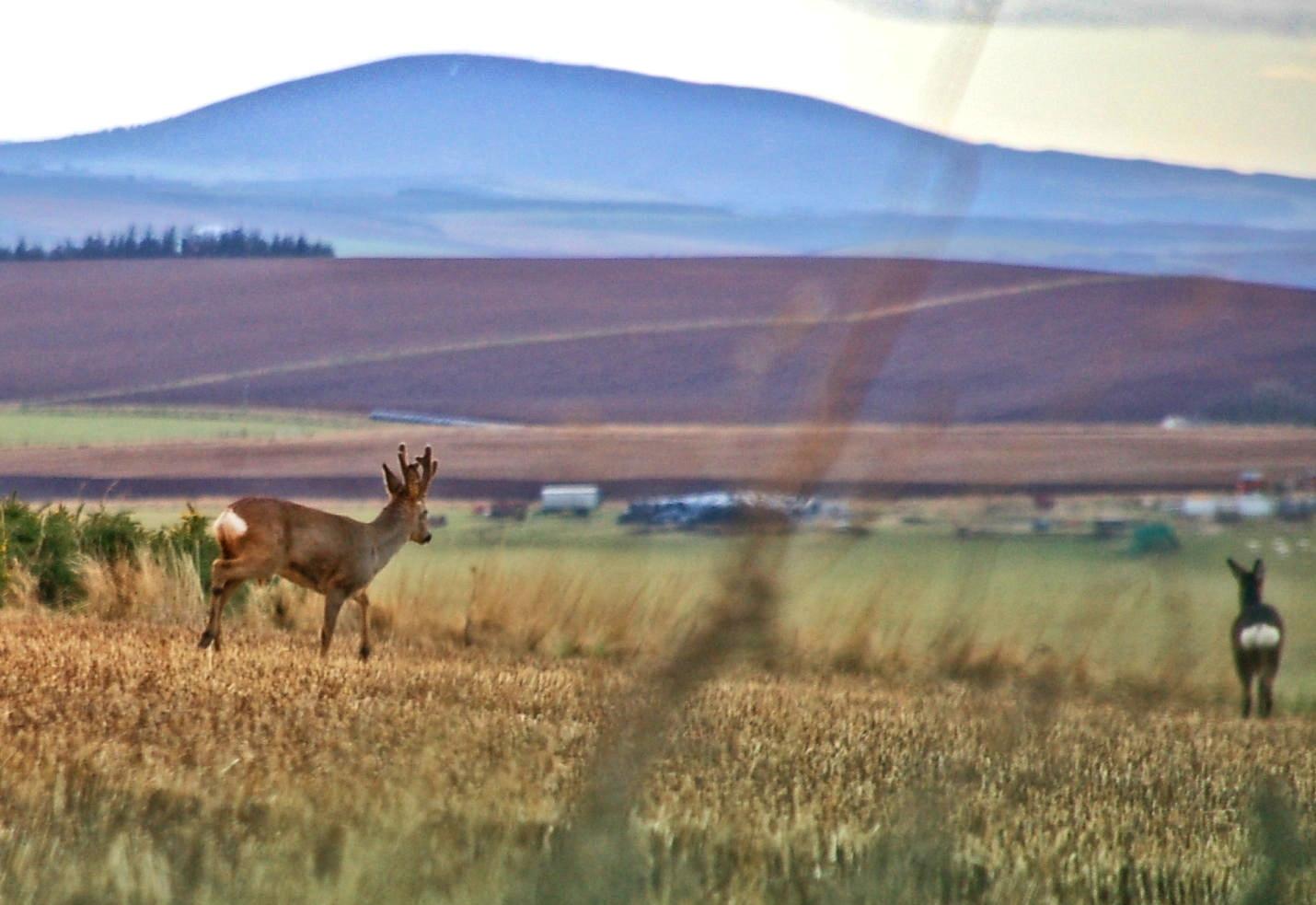 Deer - Sue Scarrott