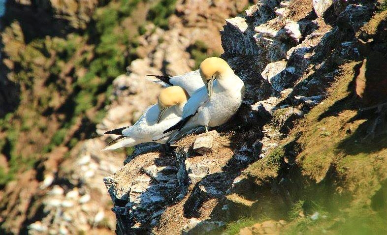 Gannet Colony - Ron Beaty